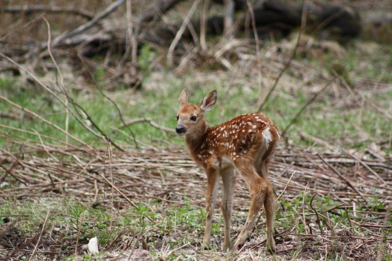 Early steps of a newborn fawn