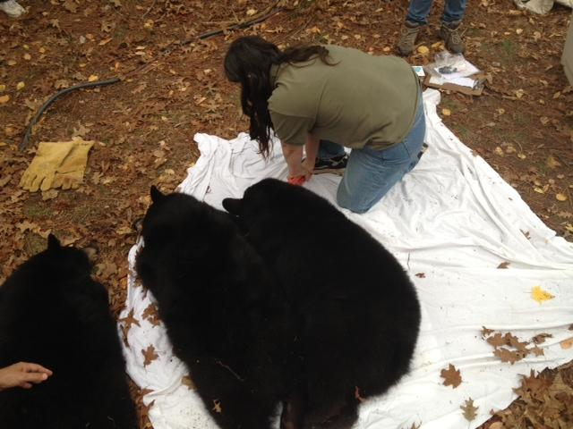 Sharon Larson, who runs Wild Instincts with Mark Naniot, places a tag on each bear's ear, as required by federal law.