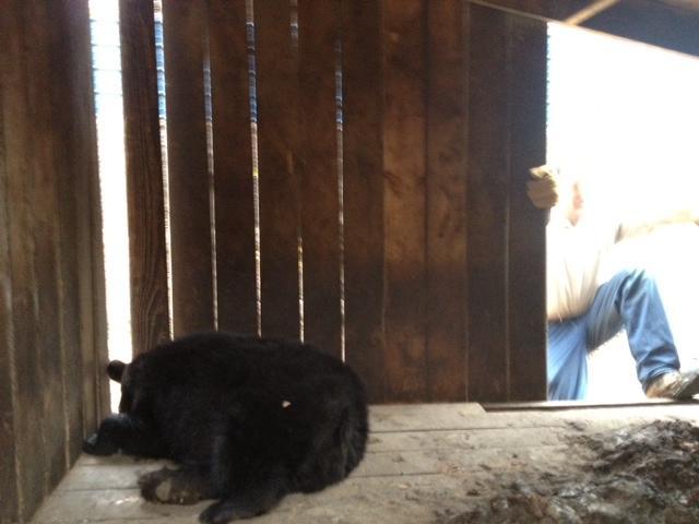 Mark Naniot, wildlife rehabilitator at Wild Instincts, climbs into a treehouse to move a sedated bear.