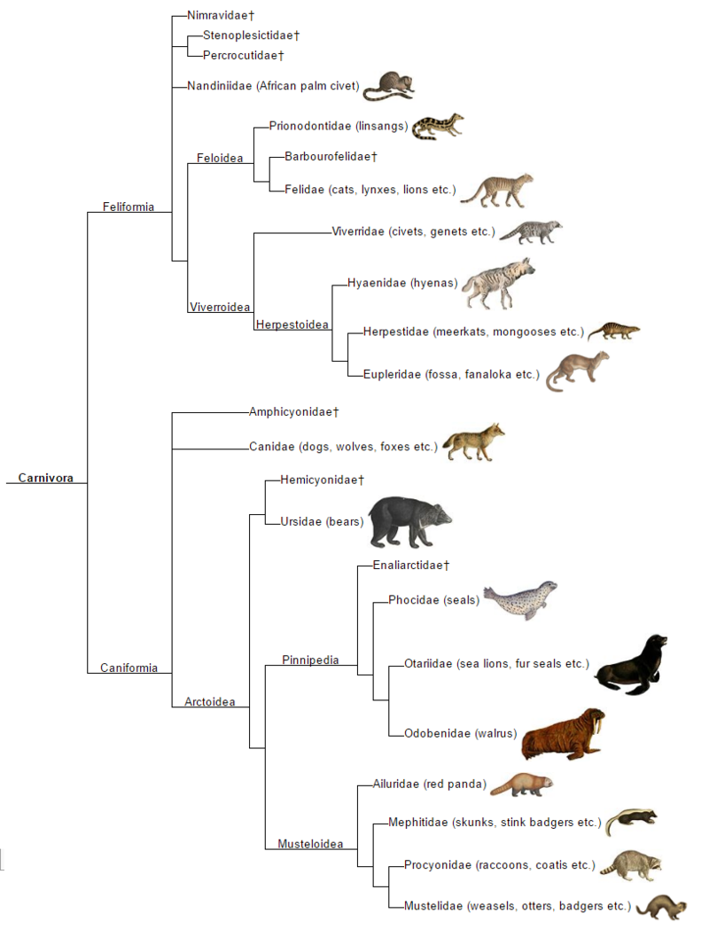 The phylogeny of carnivora