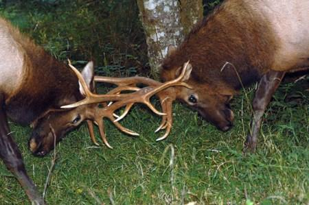 Two bull elk spar.