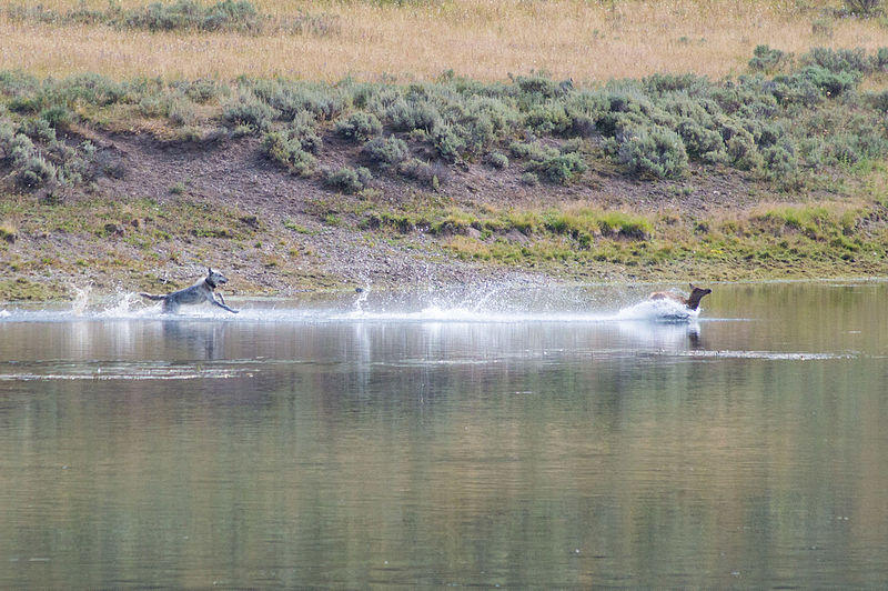 A wolf chasing a mule deer in the Yellowstone River.
