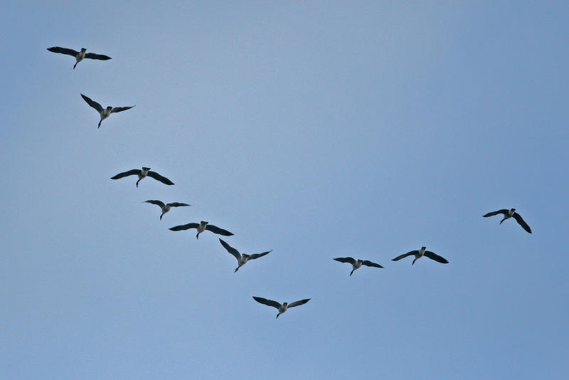 Canada Geese flying in a V-shaped formation in Madison, Wisconsin.