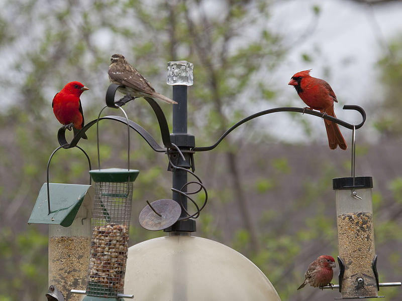 A Northern Cardinal, Scarlet Tanager, and two Purple Finch.