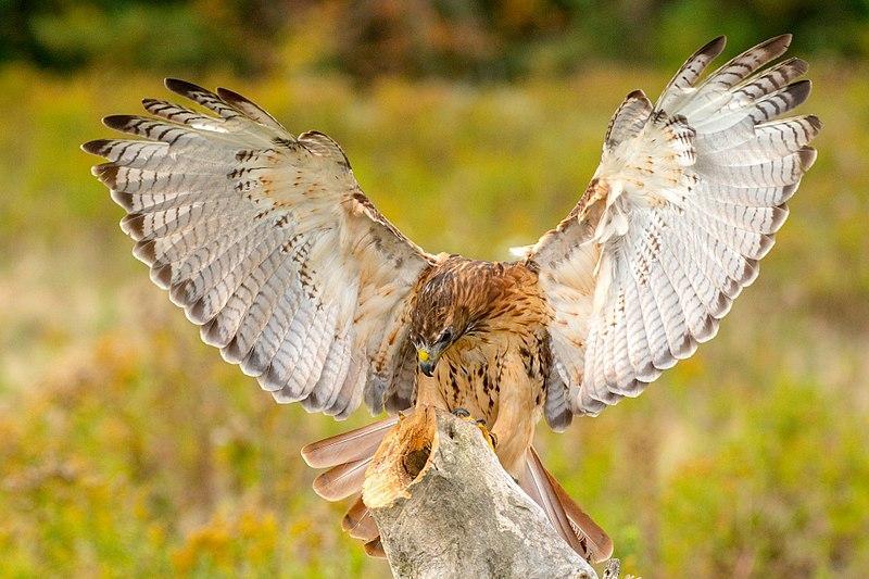 A falconer's hawk