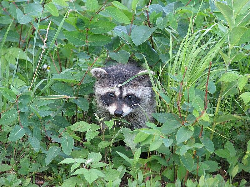 Baby raccoon in the Chequamegon-Nicolet National Forest.