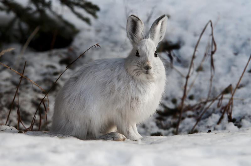 A Snowshoe Hare