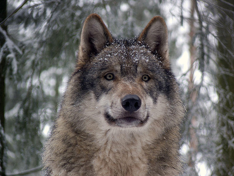Michigan In Debate Over Wolf Hunt Referendums Wxpr