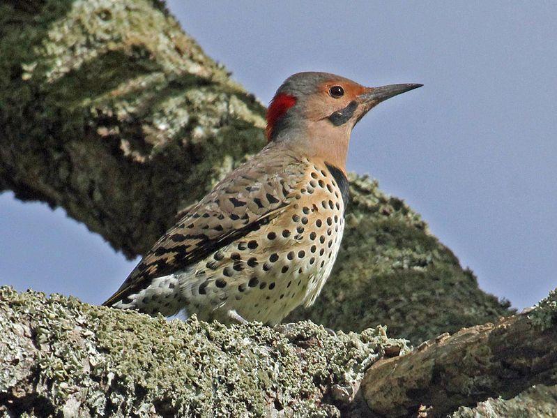 A Woodpecker That Rarely Pecks Wood