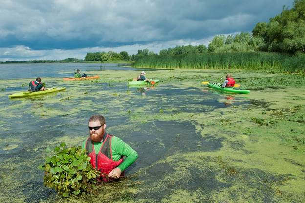 Brad Mudrzynski and others pulling water chestnut from Braddock Bay. Photo credit: Katie Lovering