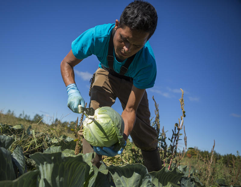 Juan Manuel Mendoza, a Mexican H2-A migrant worker, harvests cabbage at Root Brothers Farm. Farm co-owner Robin Root said the migrant workers are hired to fill a gap in the agricultural labor force.