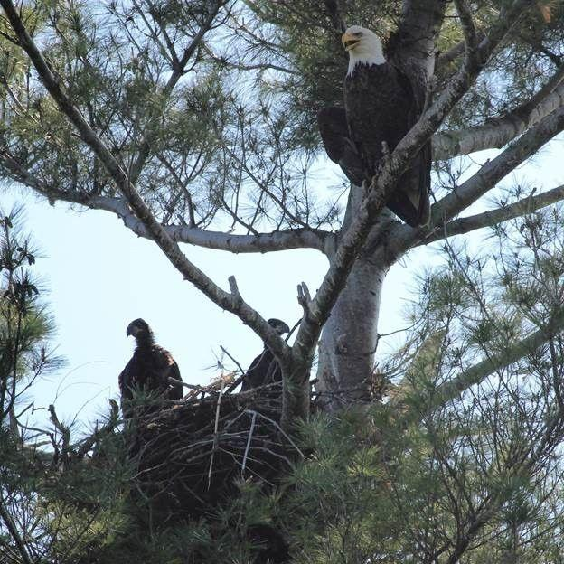 Eagles flocking to NY in record numbers