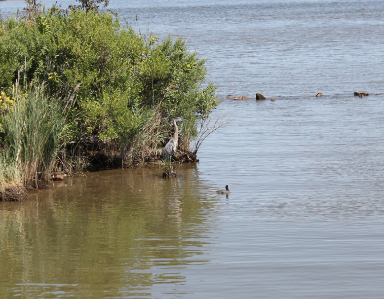 This Great Blue Heron offers another example of the local wildlife that could be under threat.
