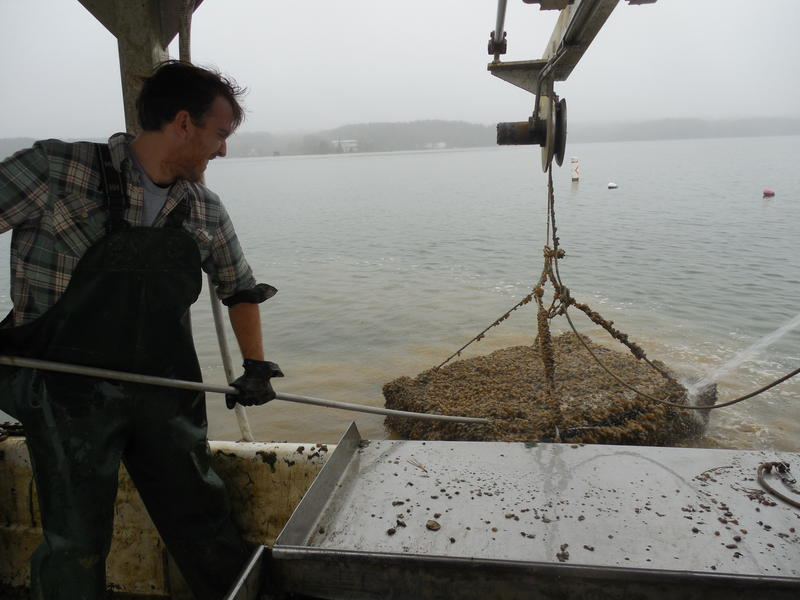 Patrick Hudson, of true Chesapeake Oyster Comany, wrestles a cage full of oysters out of St. Jerome Creek.
