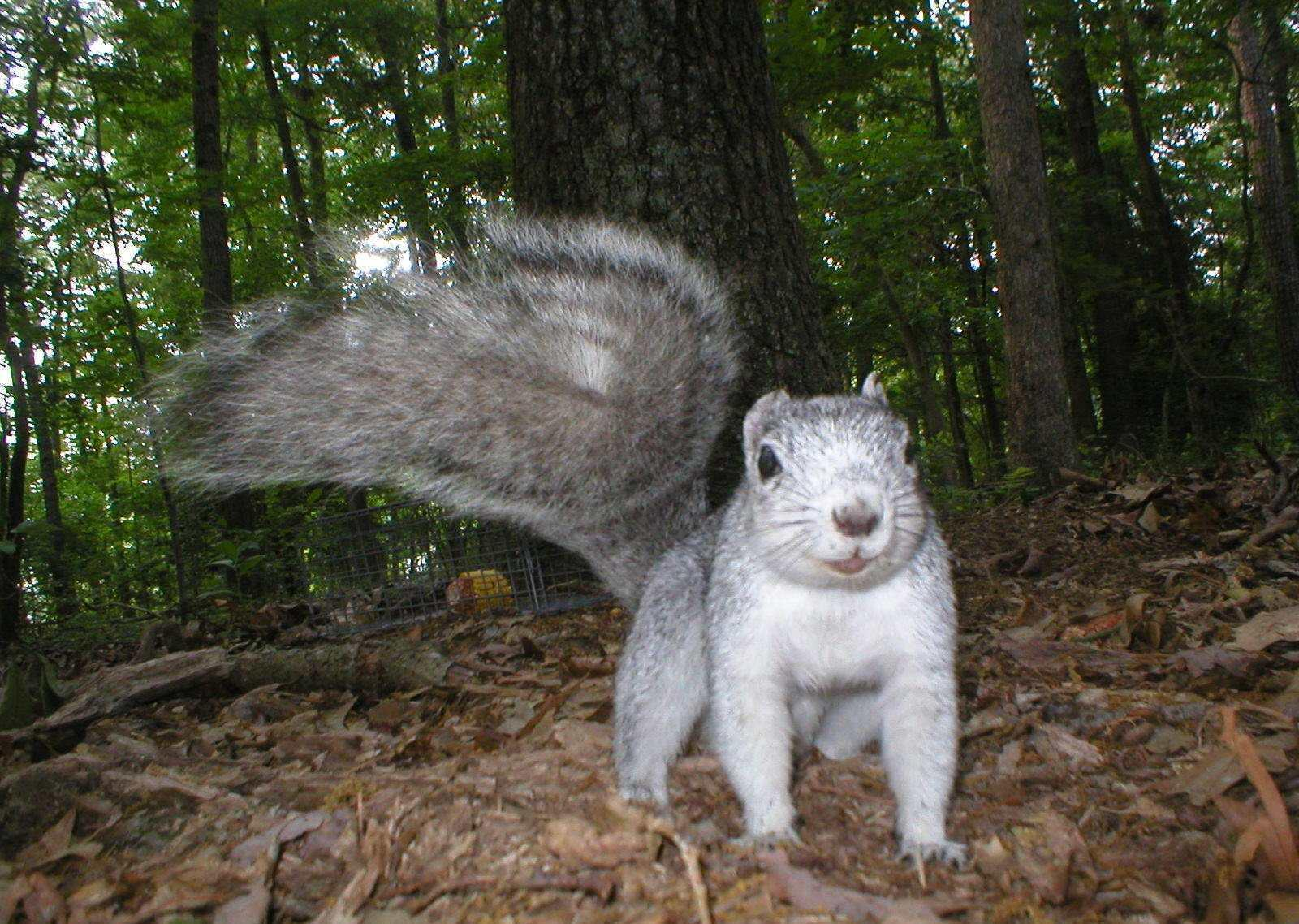 The Delmarva Fox Squirrel Out Of Danger, Sort Of | WYPR