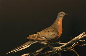 The passenger pigeon, once the most common bird in North America, became extinct in 1914. But a group of scientists is working on bringing the bird back to life through the latest in genome technology.