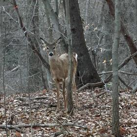 A white-tailed deer in the Maryland woods.