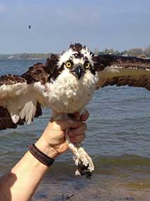 Woody, one of the ospreys being tracked.