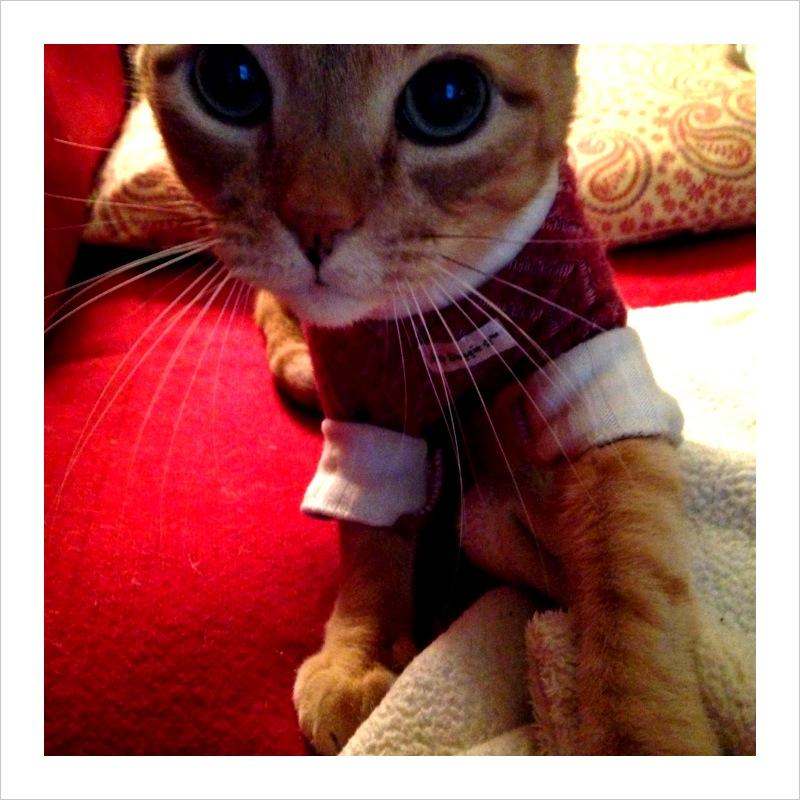 WYPR Traffic Coordinator Ami Dougherty's cat Oscar likes to try on sweaters.