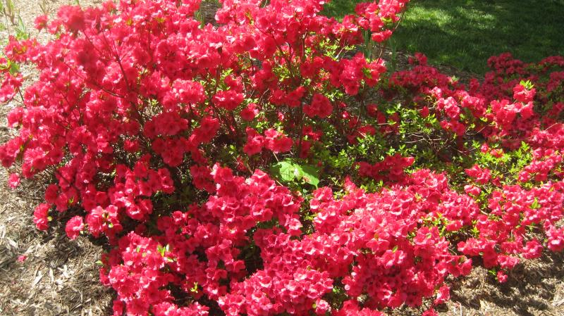 The azaleas of Sherwood Gardens