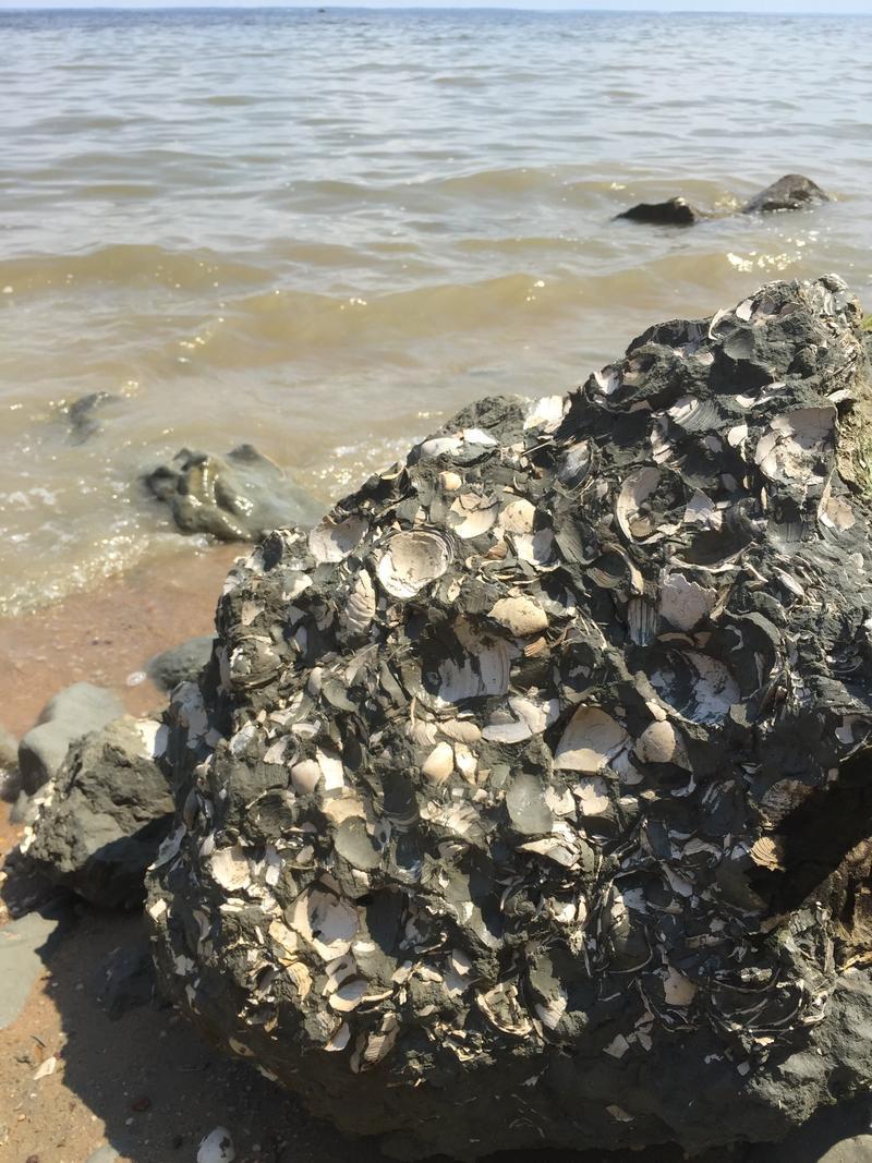 Fossil shells at Stratford Hall Cliffs in Virginia