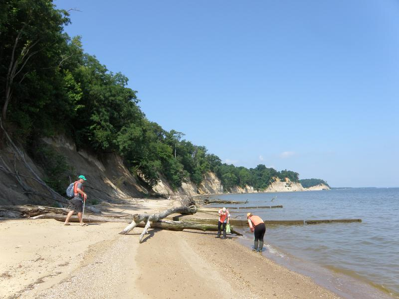 Paleontologist John Nance and interns seach for fossils at Stratford Hall Cliffs on the Potomac