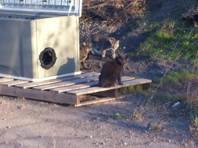 Feral cats come out of hiding looking for food