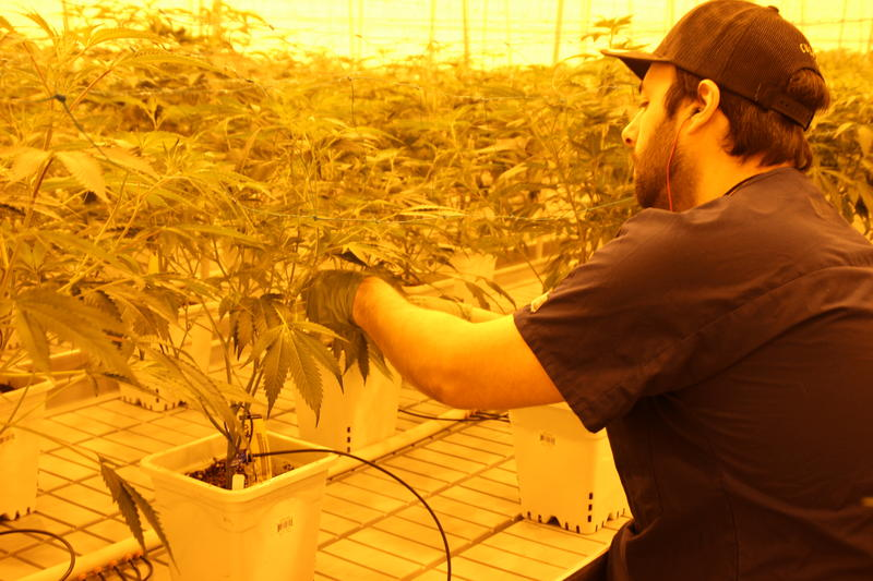 One Culta employee prunes the bottom leaves off the plant in the flowering room.