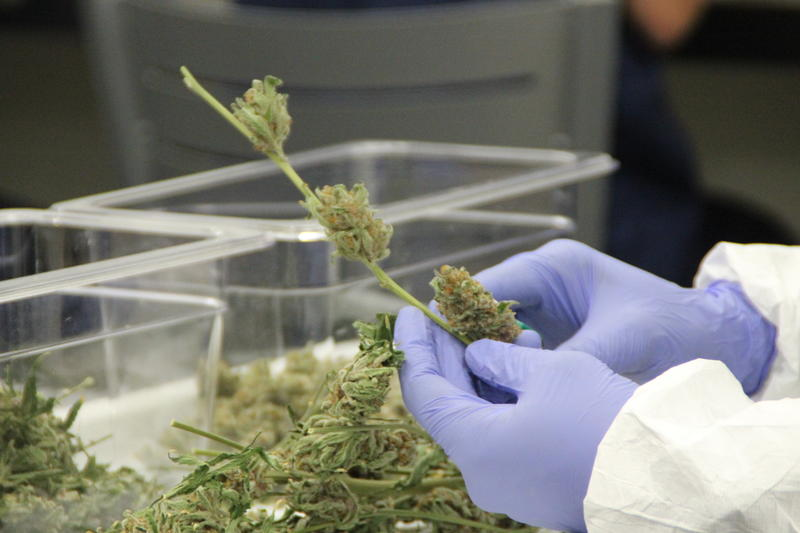 Employees wear gloves, scrubs, and face masks to remove the buds by hand from the stems of the plants.