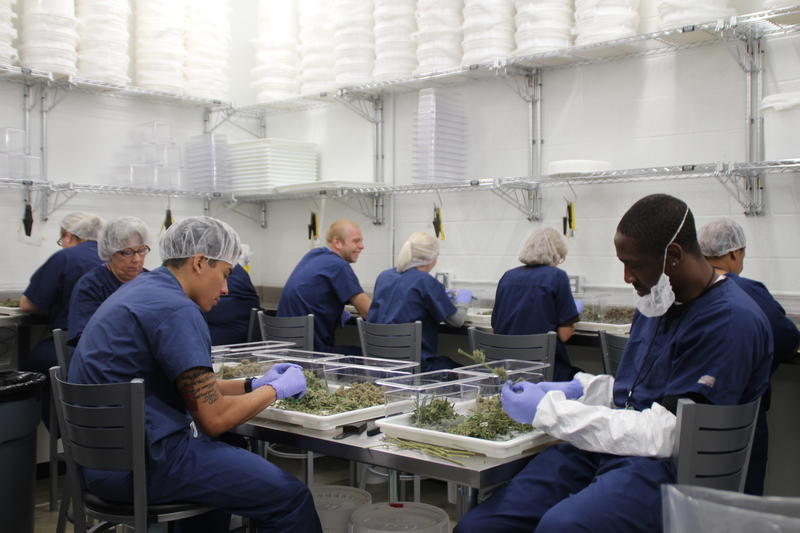 A team of workers remove the buds of the cannabis from the excess materials in the harvesting room.