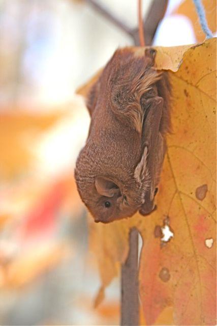 Red bat, Lasiurus borealis, roosting on a sugar maple leaf