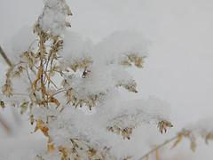 Goldenrod in winter