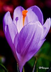 Iris Spring Blooms