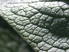 Bristles on a Comfrey Leaf