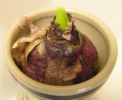 Red Hyacinth bulb