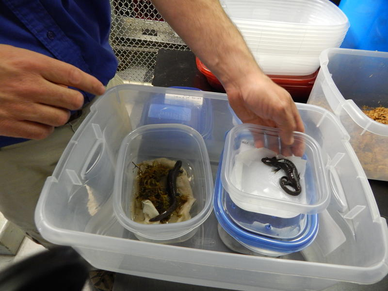 Mark Mazzei is caring for 64 salamanders at the Boonshoft Museum of Discovery. They were rescued from the site of a March 17, 2014 oil spill in Oak Glen Nature Preserve.