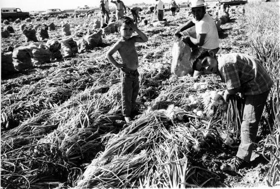 Children and adults harvest onions in a field, California.