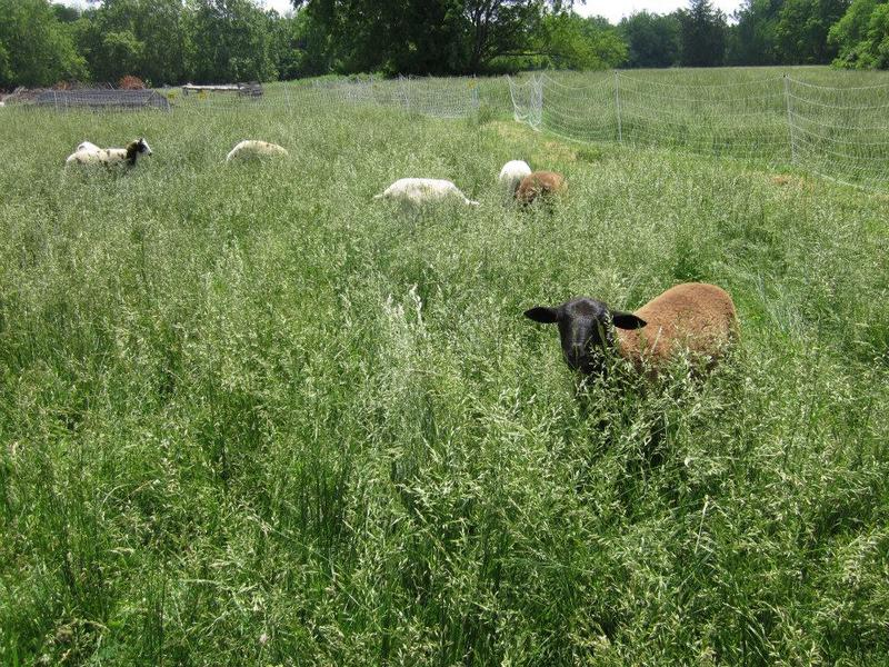 Lambs grazing at the Antioch College campus farm