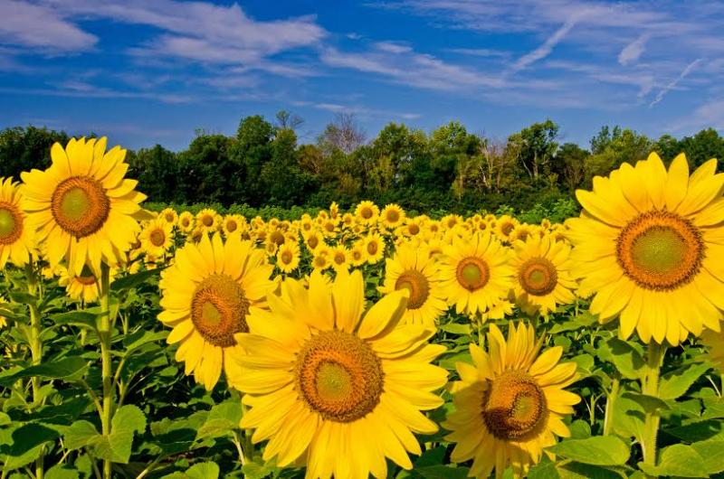 Photo from TLT's 2013 sunflower picture contest - Professional category winner.