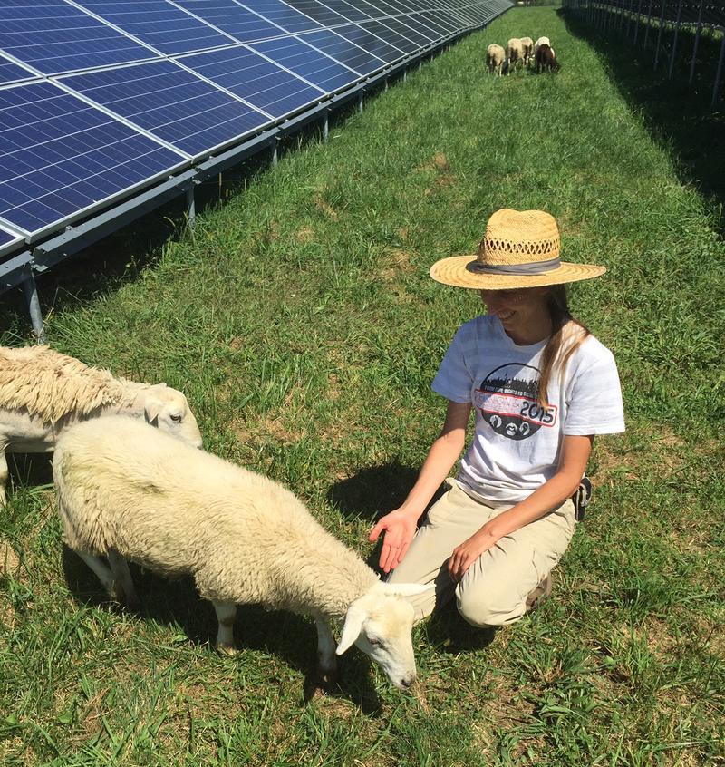 Antioch College Farm Manager, Kat Christen, introduces a the farm's latest employees - sheep brought in to help with grounds maintenance under the solar arrays.