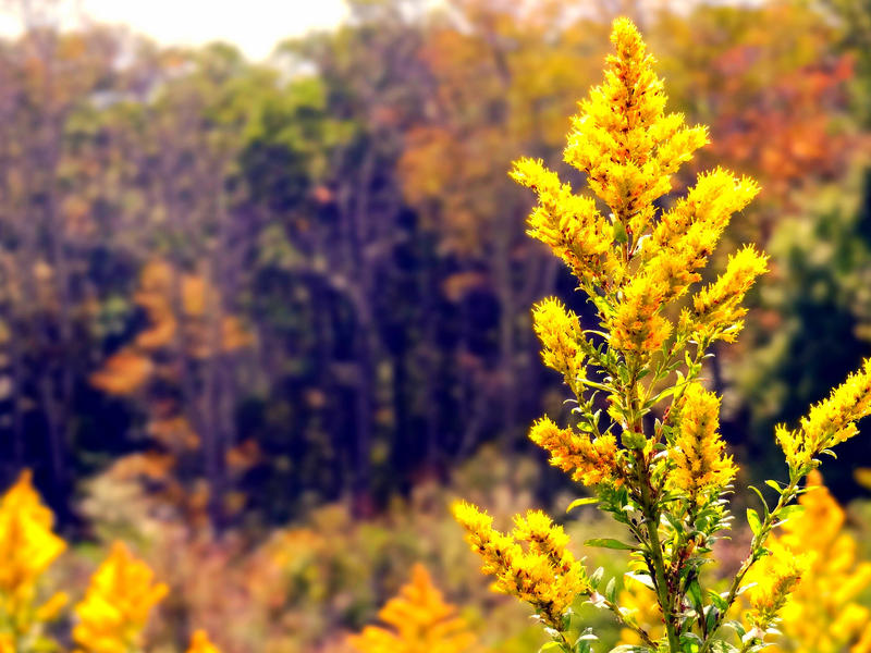 goldenrod in the fall