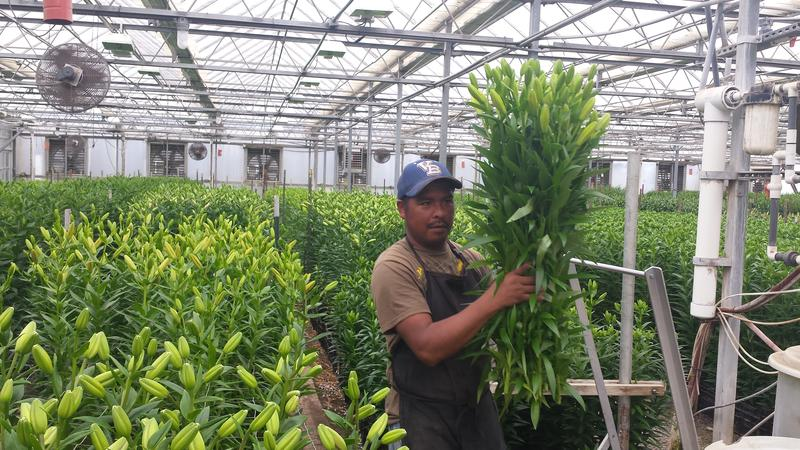 A worker harvests lillies at the Little Miami Flower Company