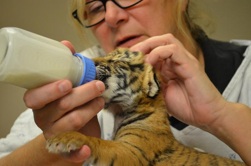 Three Malayan tiger cubs were born on Friday, February 3, at the Cincinnati Zoo & Botanical Garden and are now being cared for in the Zoo's nursery.