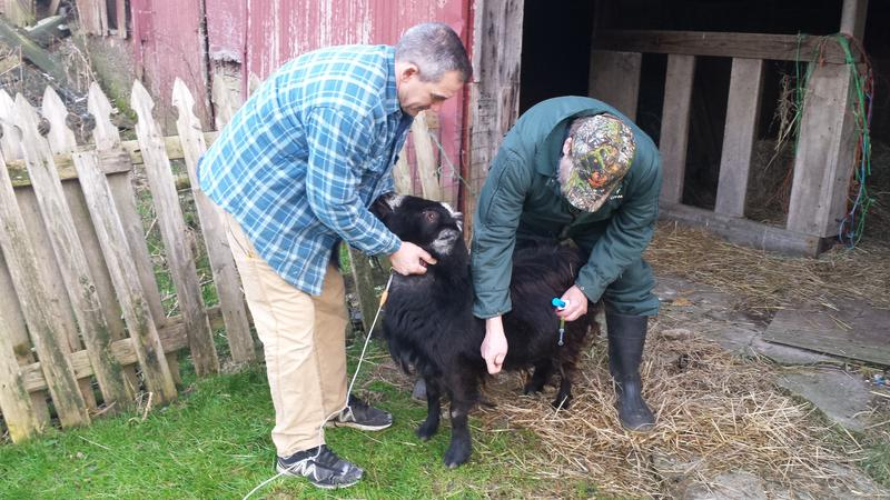 Dr. Scott Hosket on farm call with pet goat Jackson and his owner Rich.