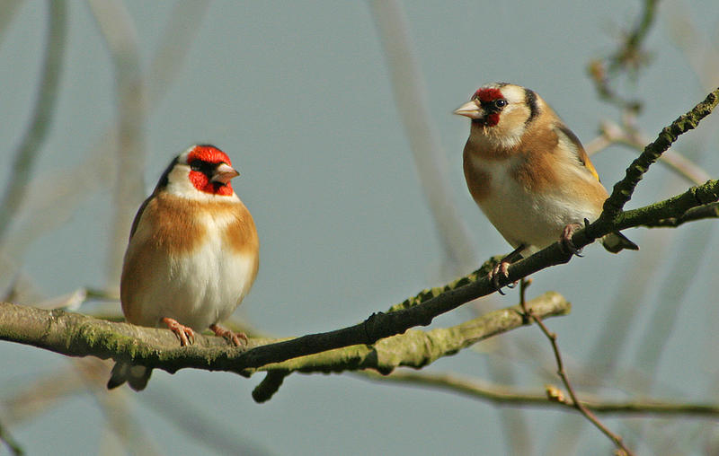 two goldfinches in the spring