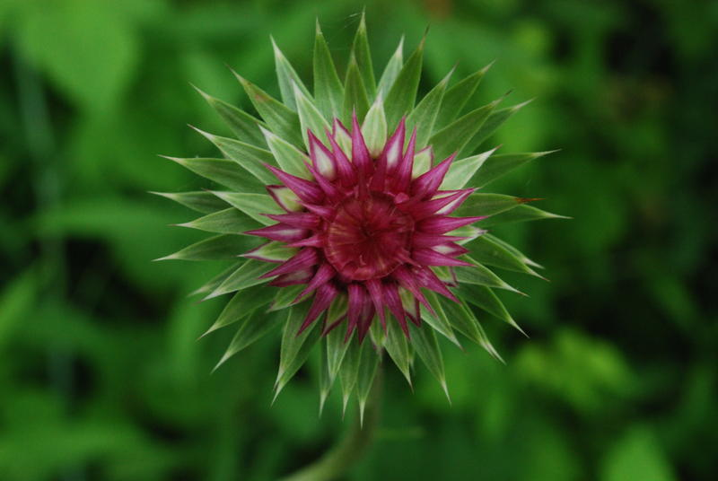 closeup of pink thistle