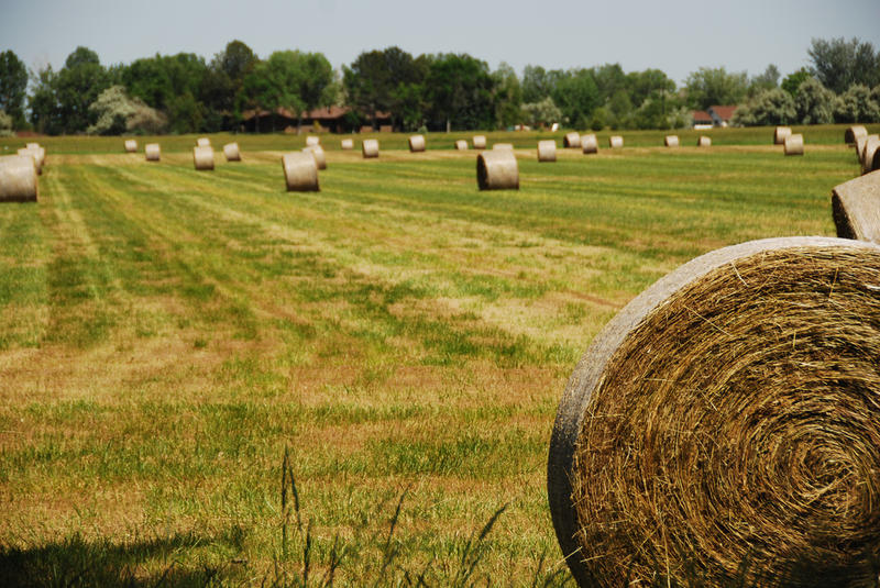 rolls of hay in a late summer field