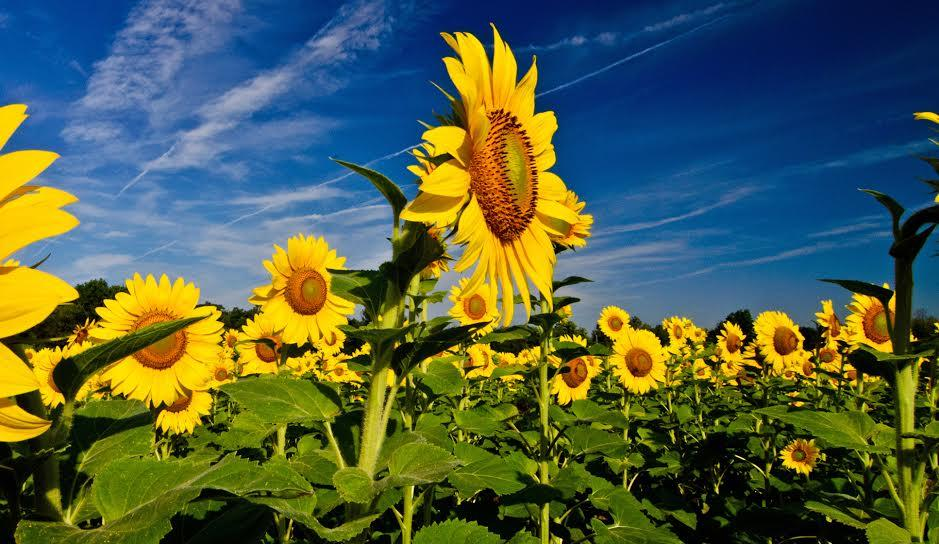 essay about the sunflower It has a long thin green coloured stem the flower has beautiful large head with bright petals when the sunflower are planted together they look very.