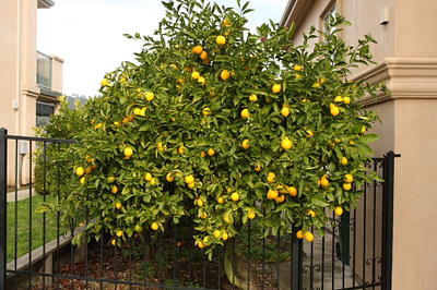 Meyer Lemon Tree Very Pretty And The Fruit Is Delicious To Eat Hppr