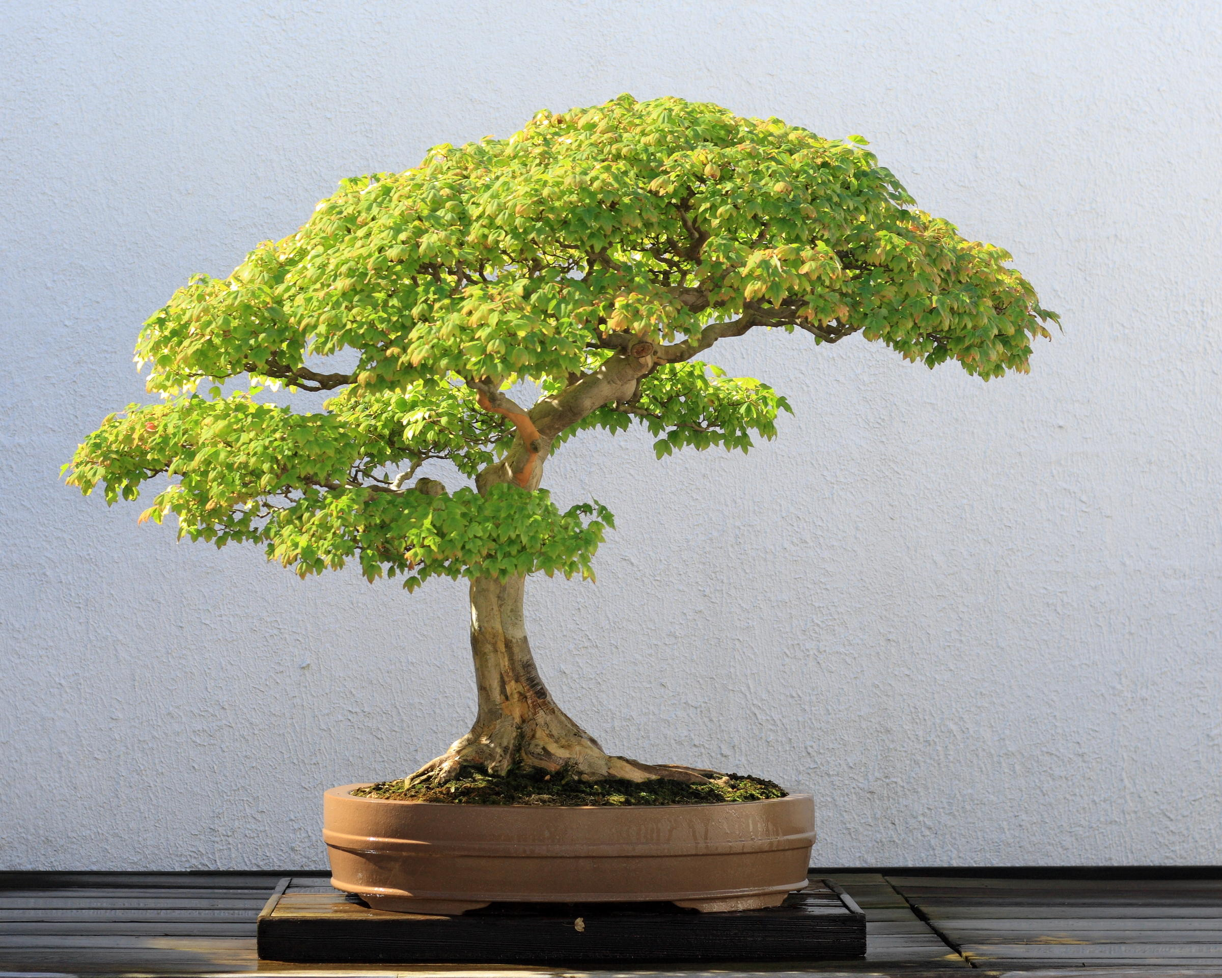 Bonsai Basics Hppr